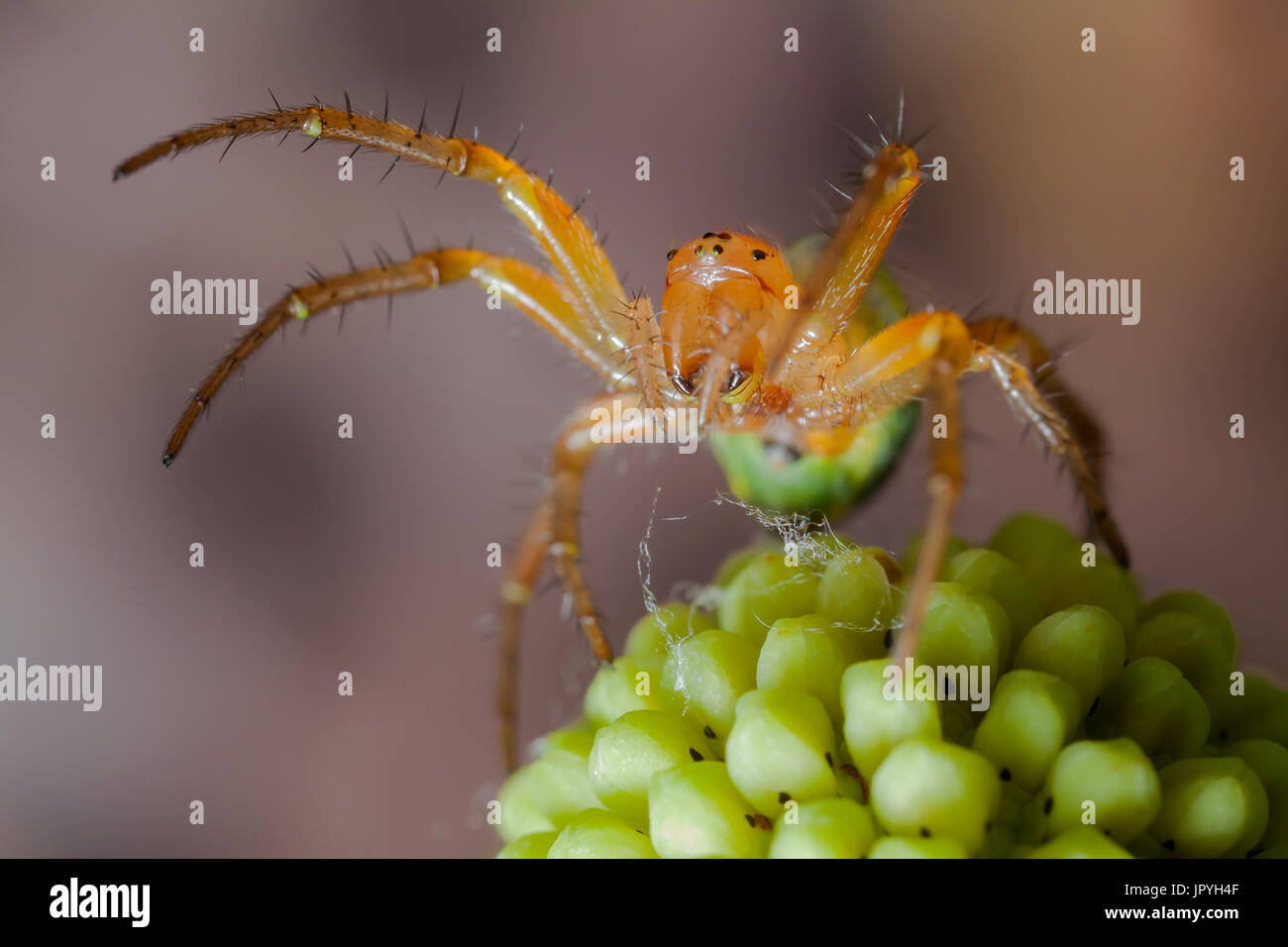 Cucumber Green Spider - France - Stock Image
