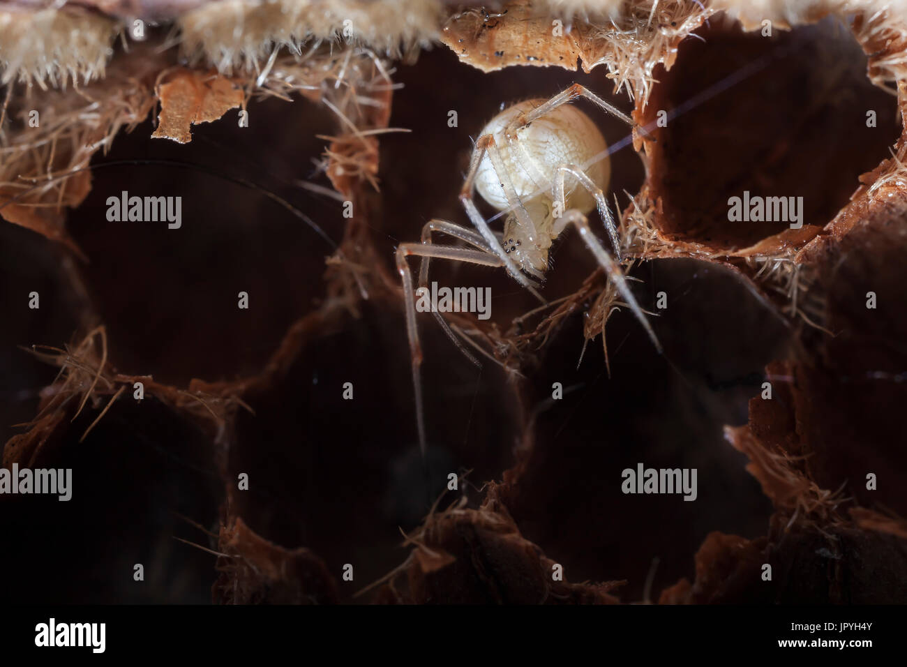 Comb-footed Spider in the cell of an empty shell - France - Stock Image