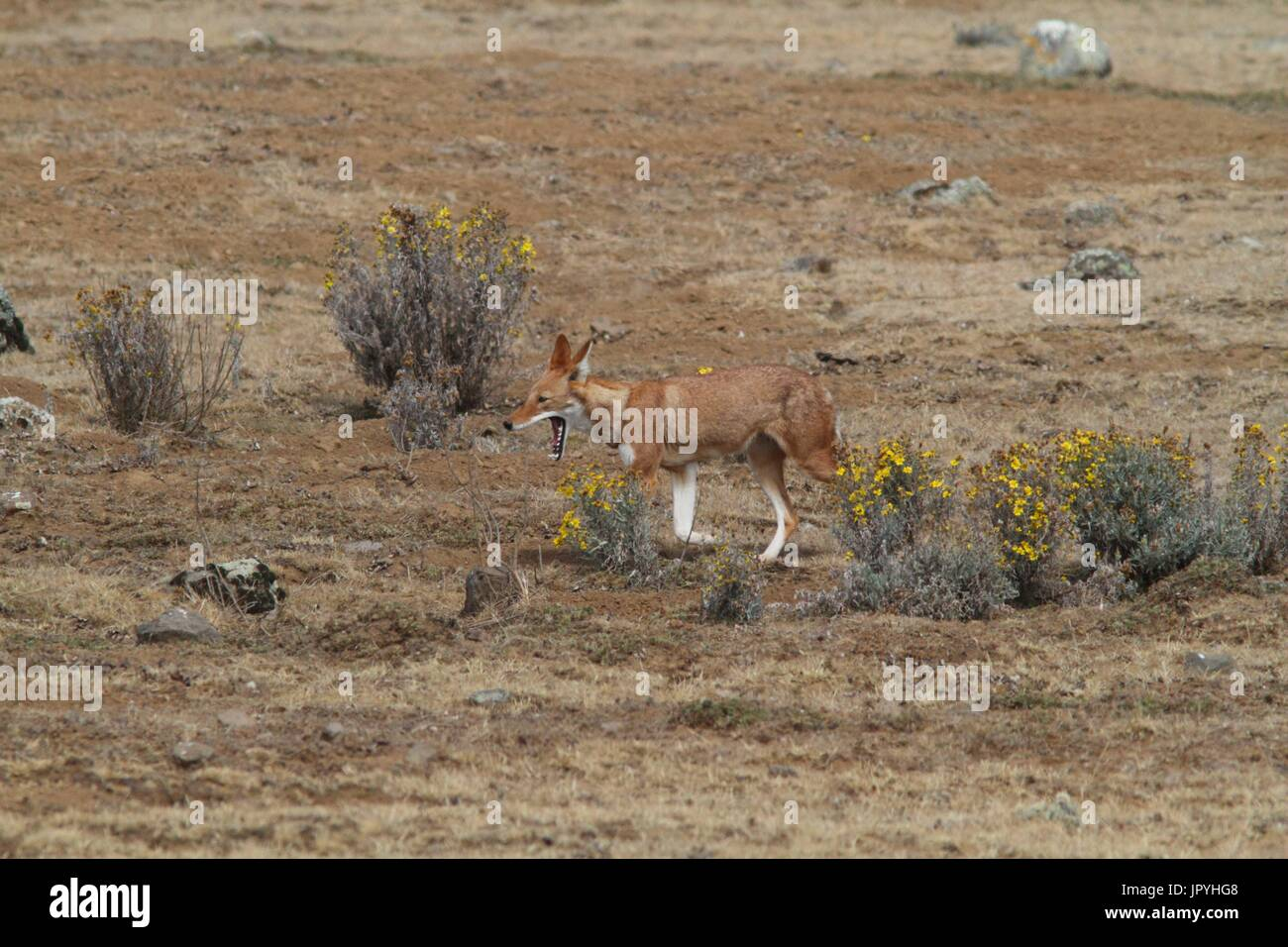 Simian Jackal walking on heath - Ethiopia - Stock Image