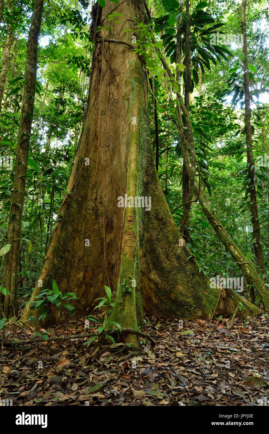 Foothills tree in undergrowth - Tresor Reserve French Guyana - Stock Image
