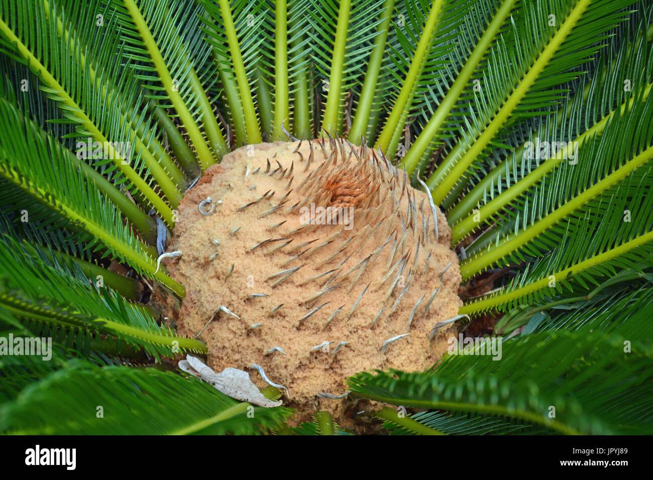 Cycas - New Caledonia - Stock Image