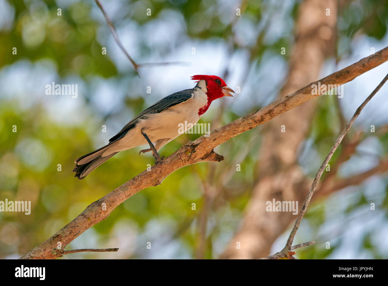Red-Crested Cardinal on a branch - Brazil Pantanal - Stock Image