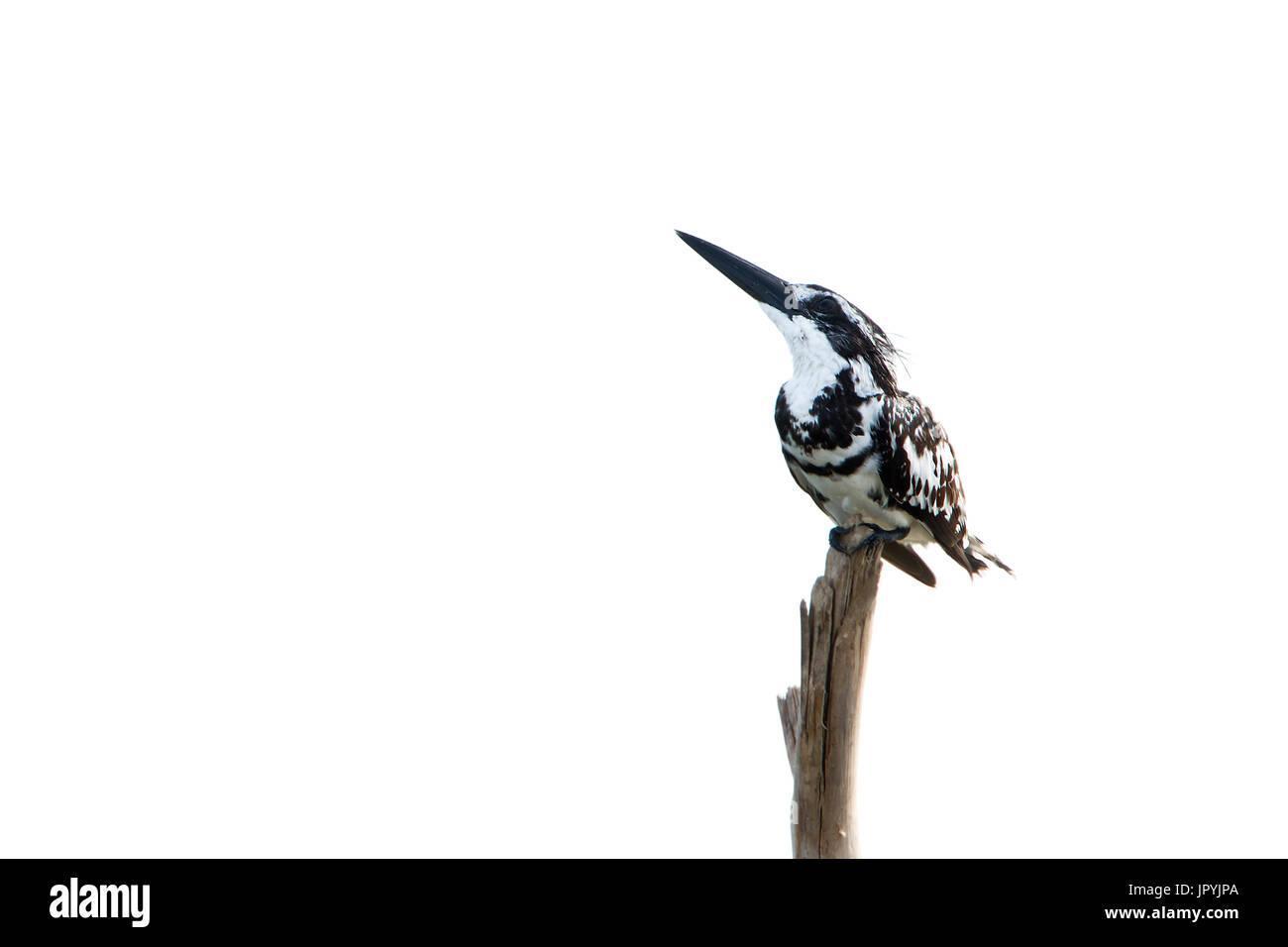 Pied kingfisher on a stake - Arugam bay Sri Lanka - Stock Image