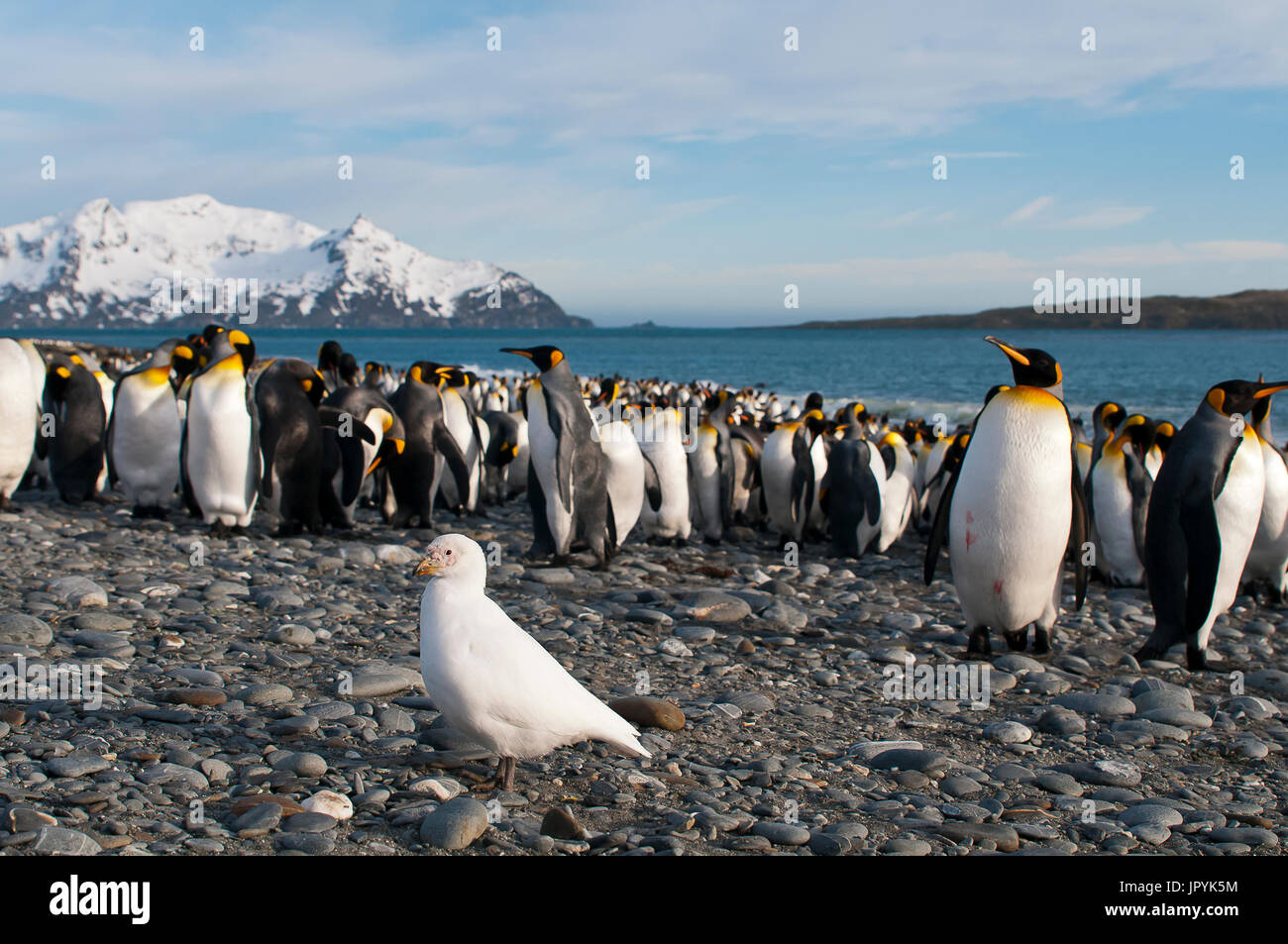 White Chionis and King penguins on shore - South Georgia Stock Photo