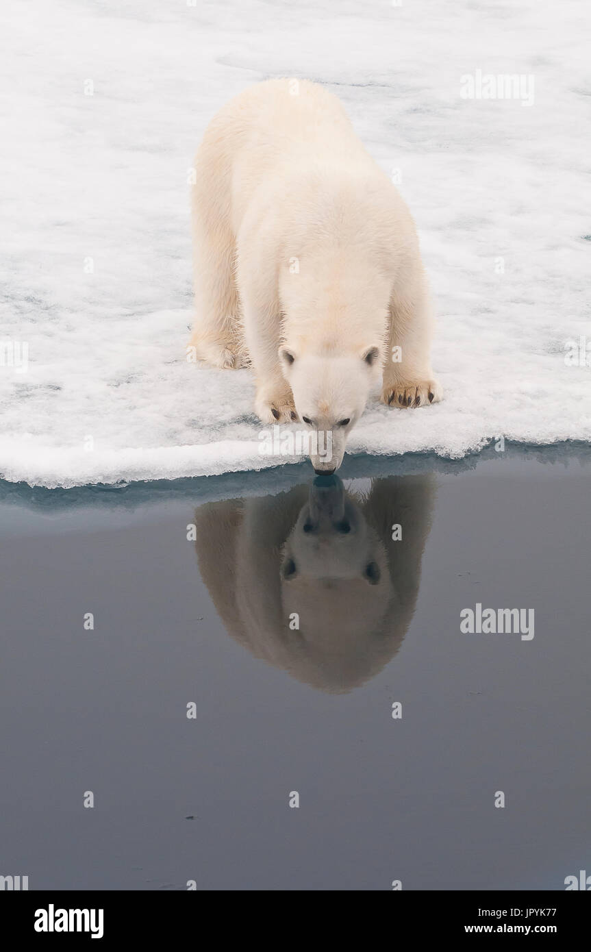 Polar bear reflected in the water - Spitsbergen - Stock Image
