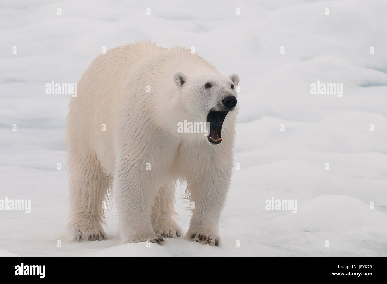 Polar bear yawning on ice - Northern Spitsbergen - Stock Image