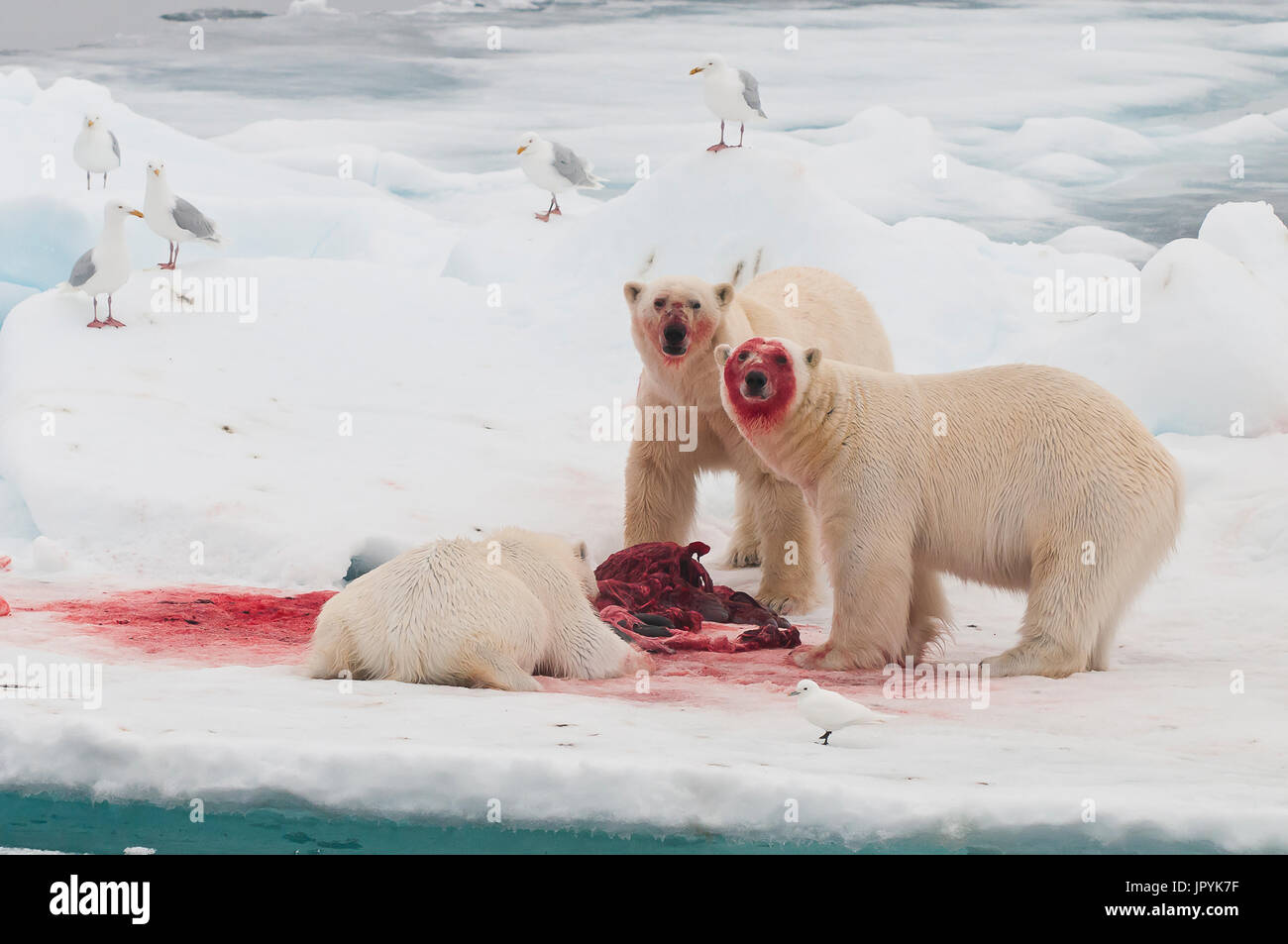 Polar bear eating a bearded seal - Spitsbergen - Stock Image
