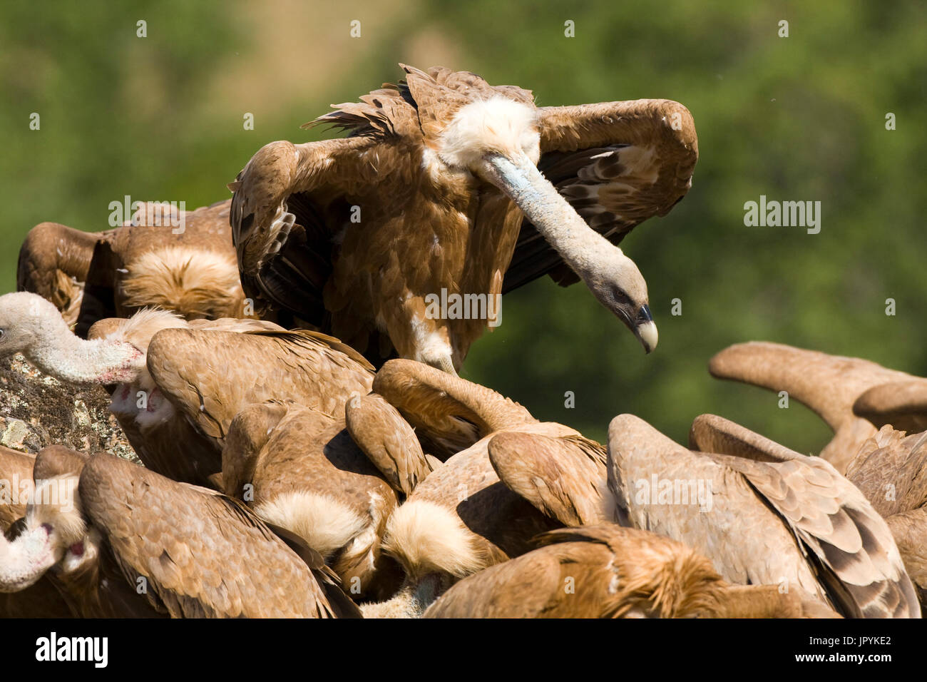 Griffon vultures on ground - Spain - Stock Image