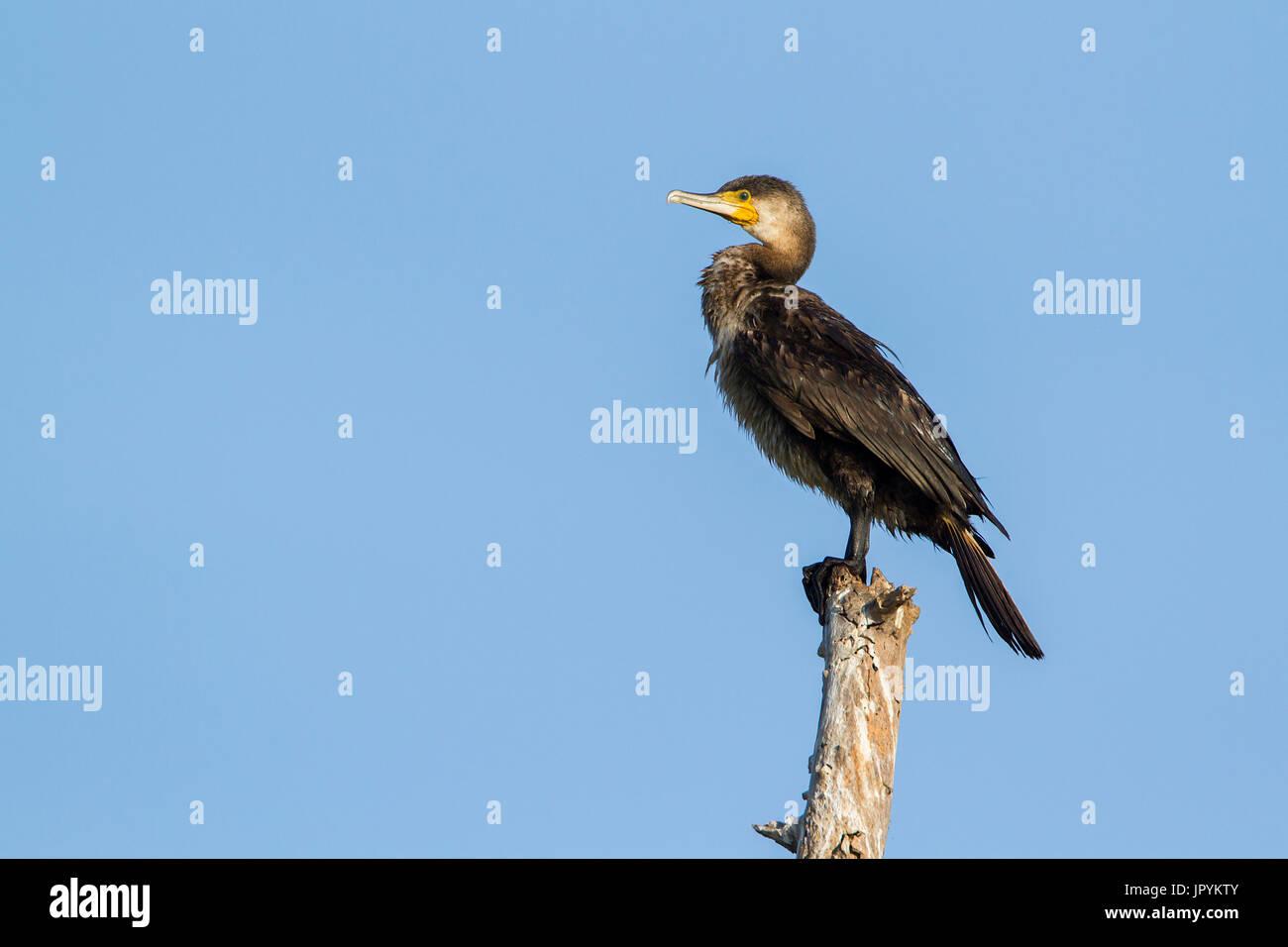 Great cormorant on stake - Arugam Bay lagoon Sri Lanka - Stock Image