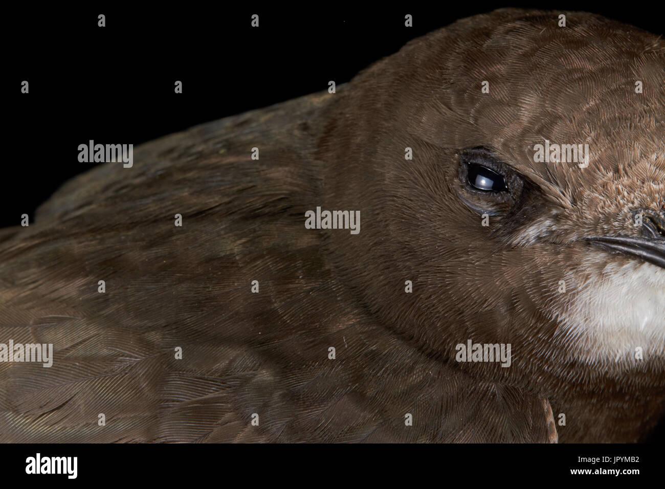 Portrait of Common Swift on black background - Stock Image