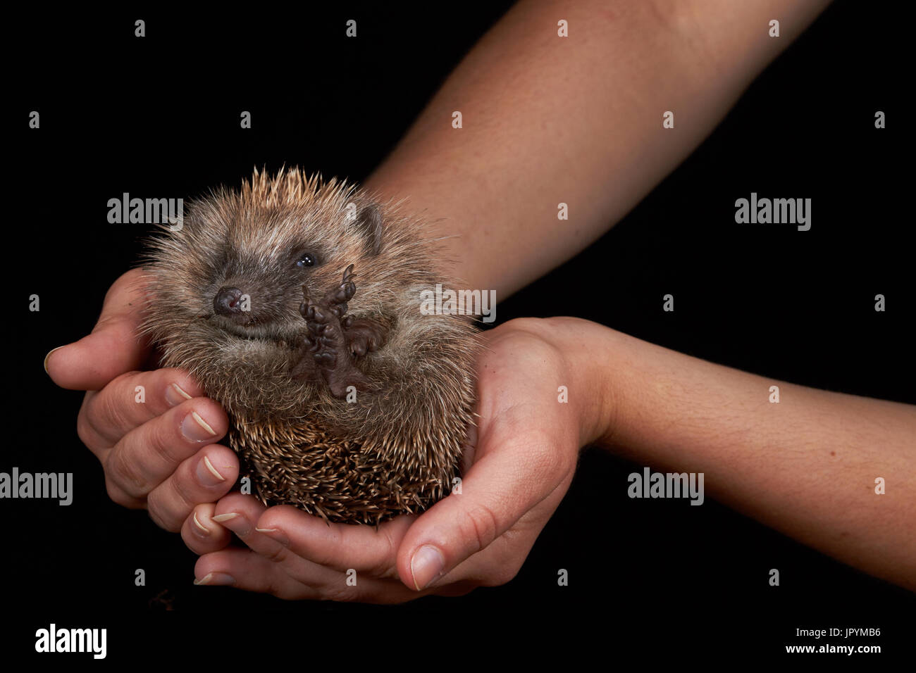 European Hedgehog held in hand on a black background - Stock Image