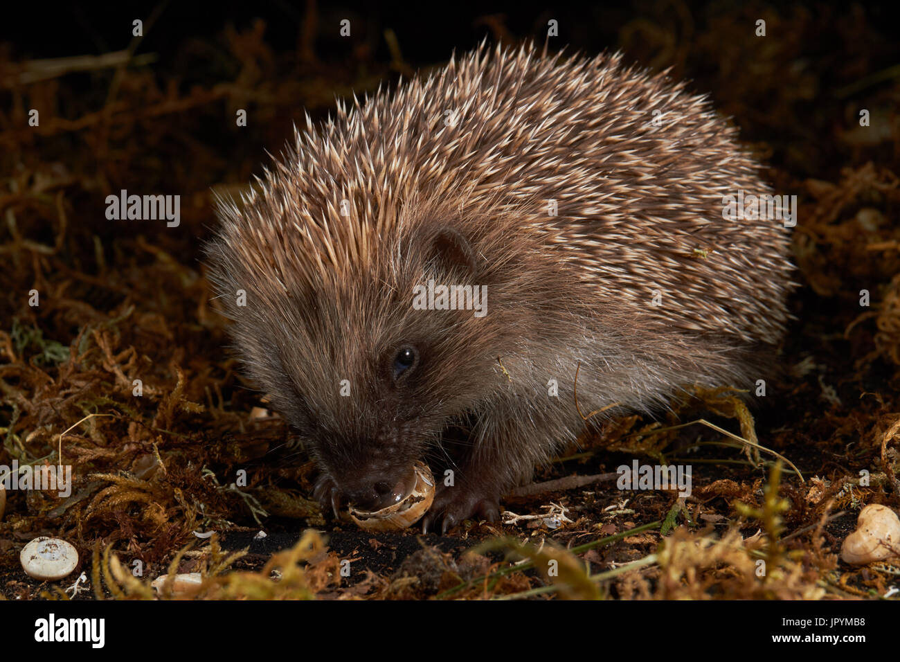 Western European hedgehog eating a snail - France - Stock Image