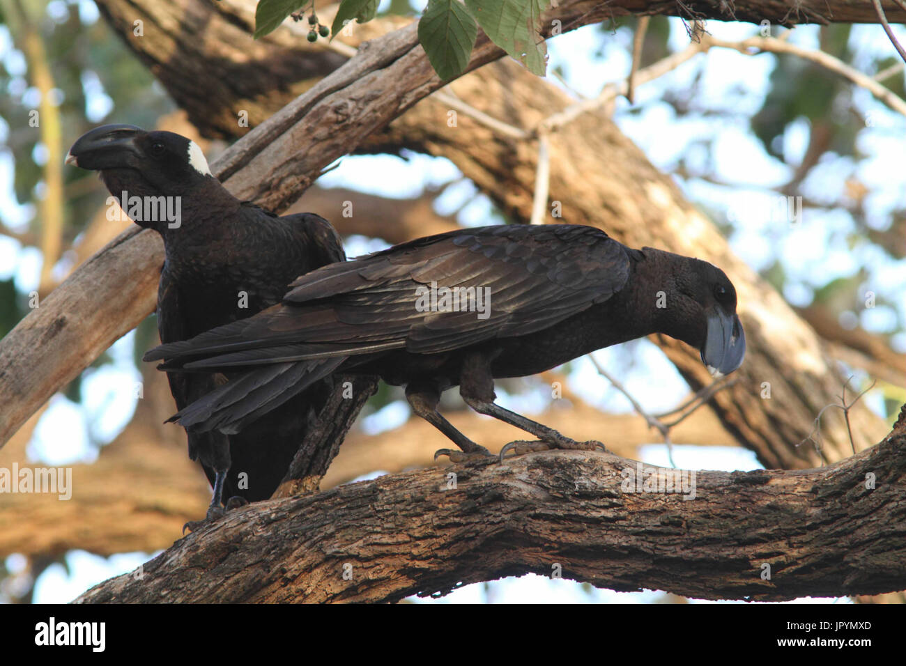 Thick-billed Ravens on a branch - Ethiopia - Stock Image