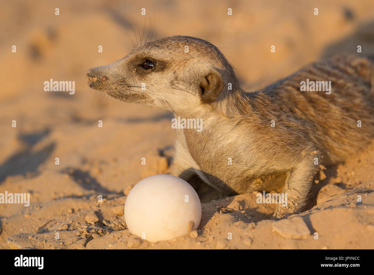Meerkat with a Leopard Tortoise egg - Kalahari South Africa - Stock Image