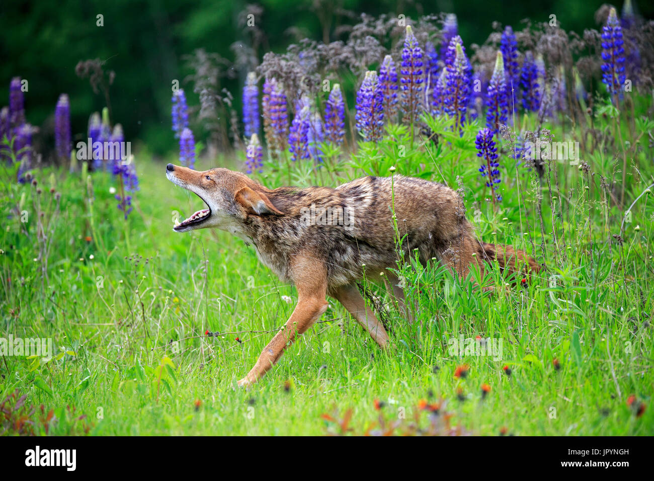 Coyote walking in the grass - Minnesota USA - Stock Image