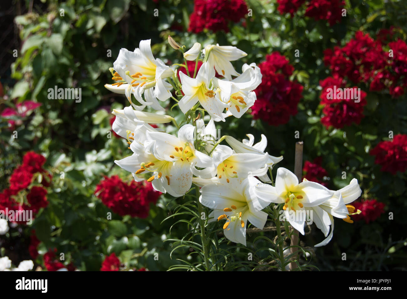 Flower carpet roses stock photos flower carpet roses stock images heavily scented white lily lilium regale and red flower carpet mightylinksfo