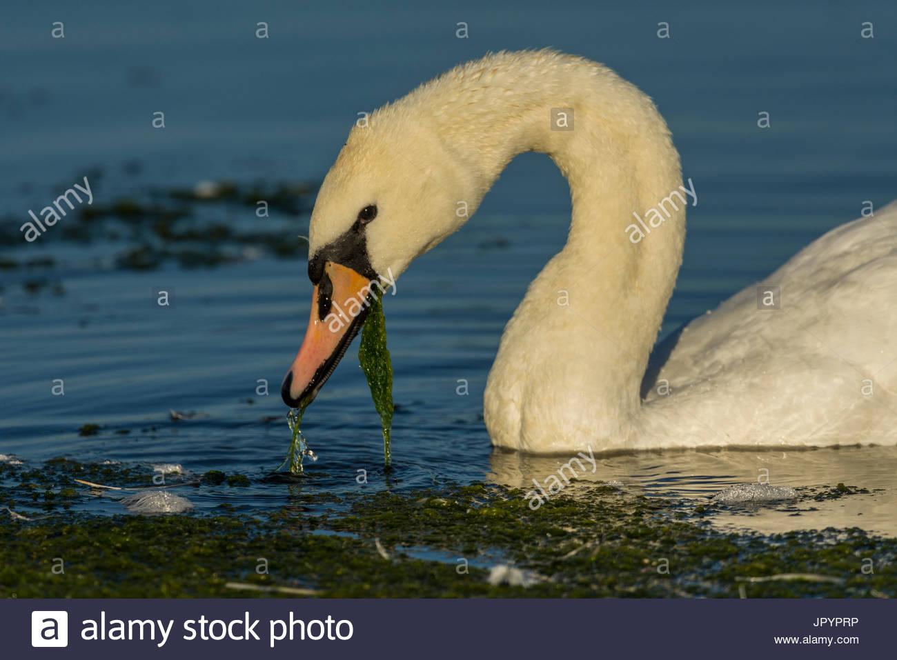 Artificial Swan...