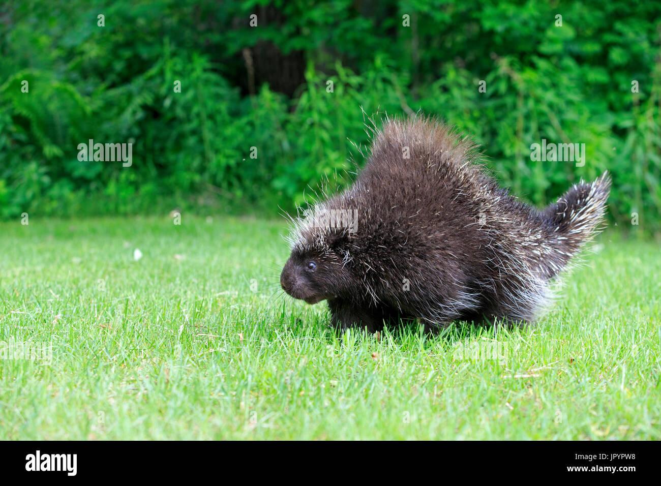 North American porcupine in grass - Minnesota USA Stock Photo
