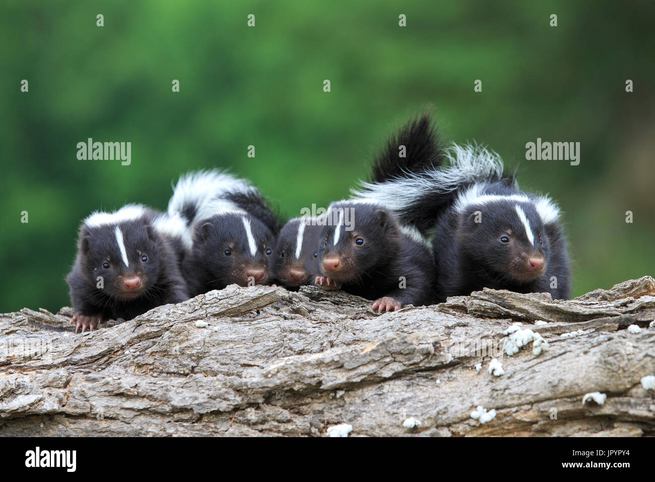 Young Striped Skunks on a trunk - Minnesota - Stock Image