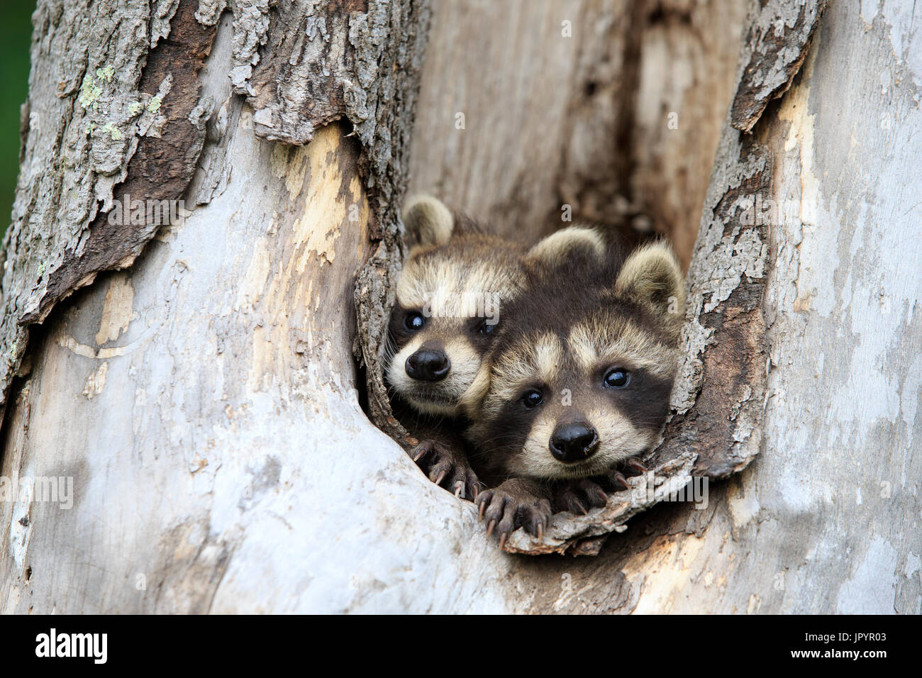 Young Raccoons in a hollow trunk - Minnesota USA - Stock Image