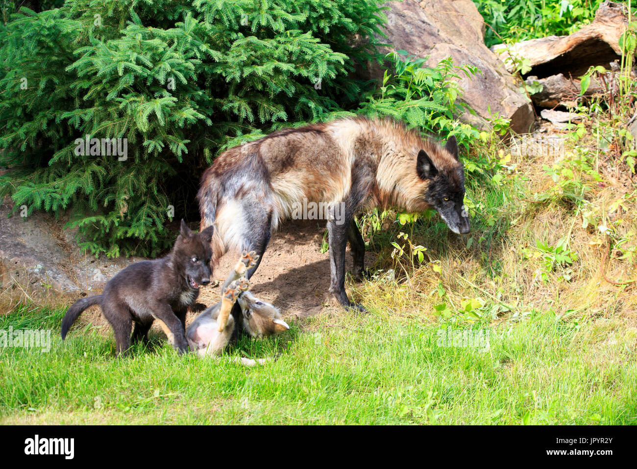 Grey Wolf and young playing in the spring - Minnesota USA - Stock Image