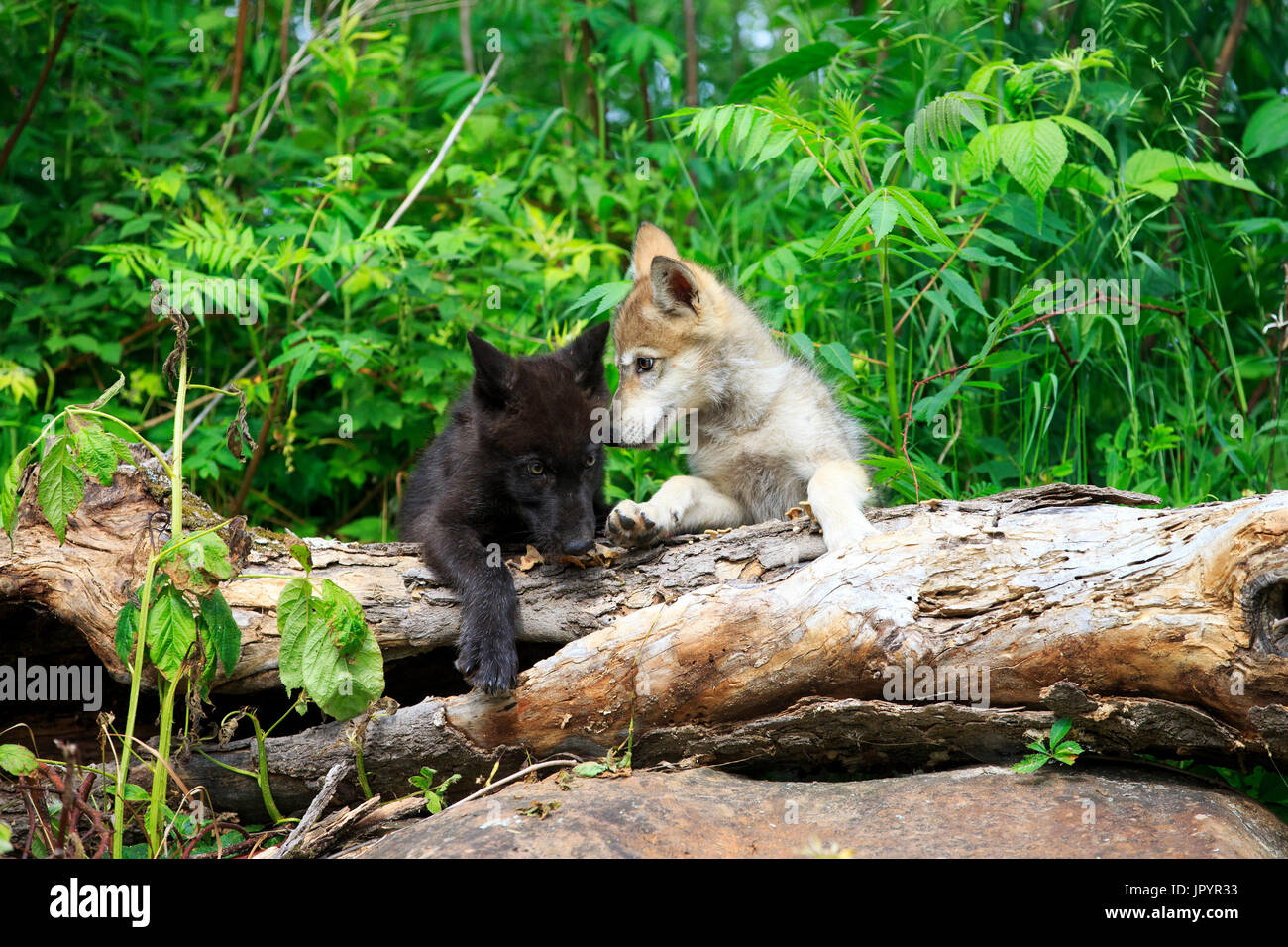Young Grey Wolves playing in vegetation - Minnesota USA - Stock Image