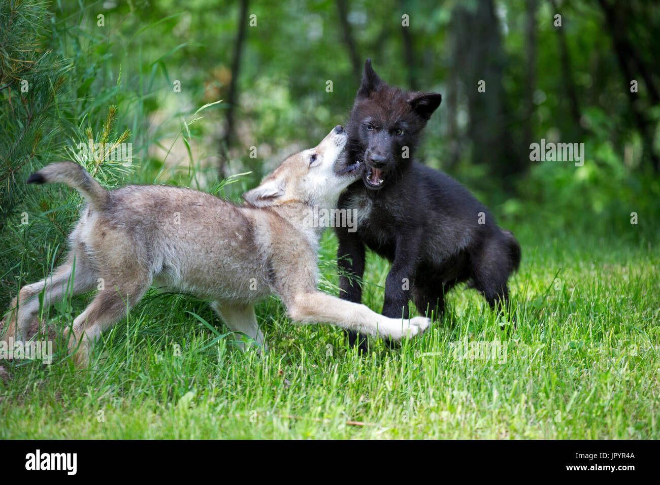 Young Grey Wolves playing in spring - Minnesota USA - Stock Image
