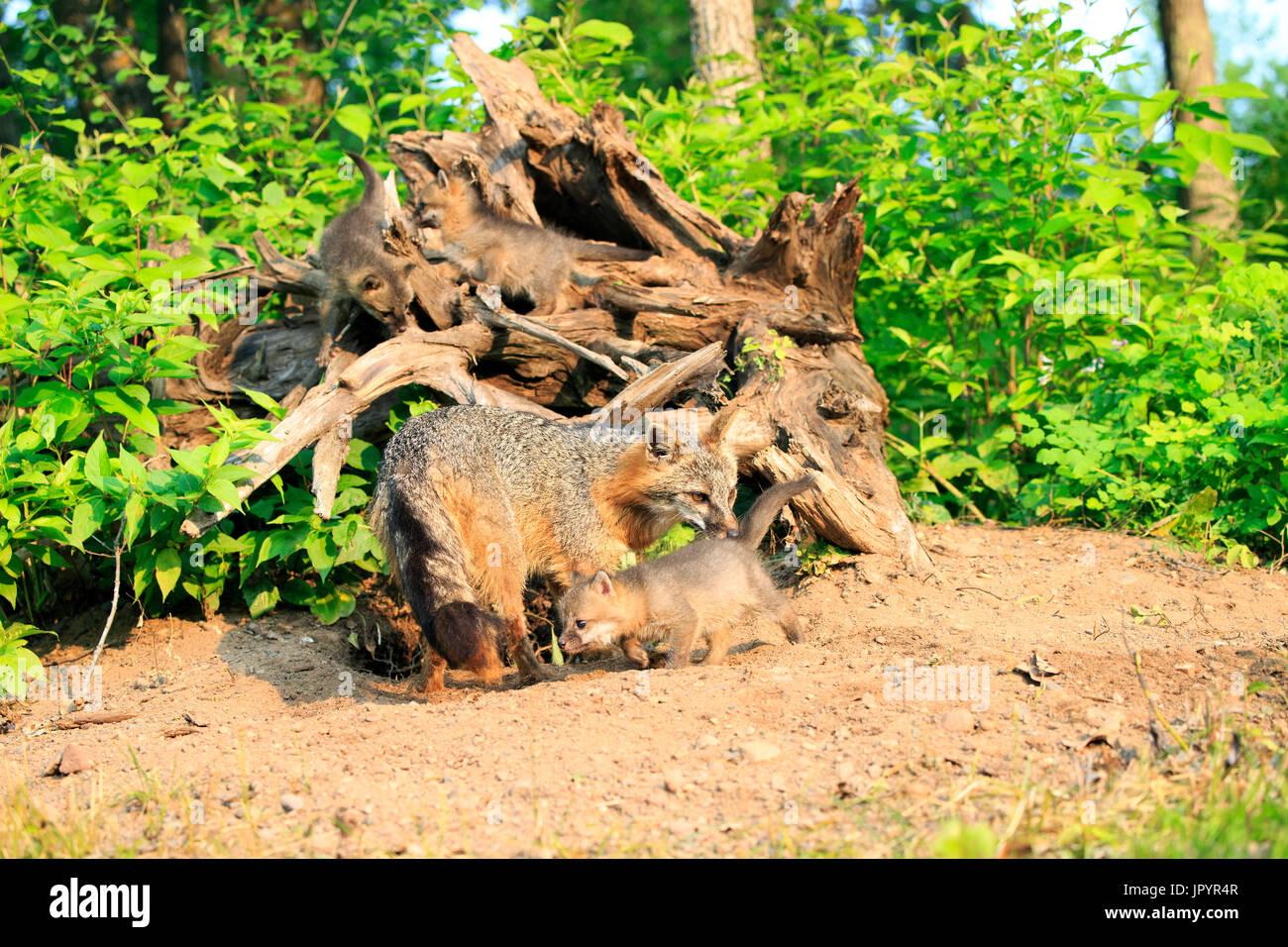 American gray fox and young at spring - Minnesota USA - Stock Image
