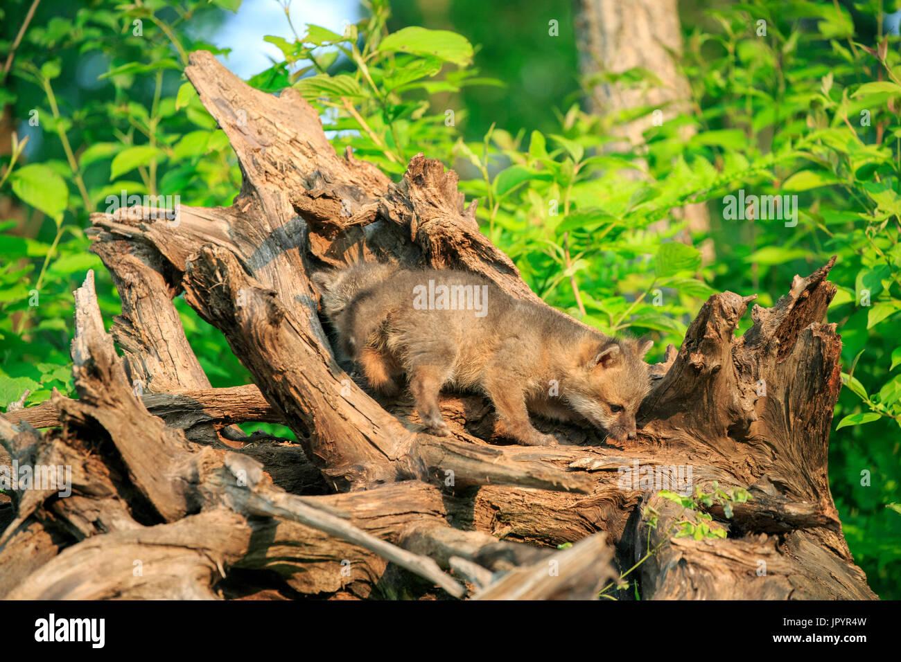 Young American gray foxes playing - Minnesota USA - Stock Image