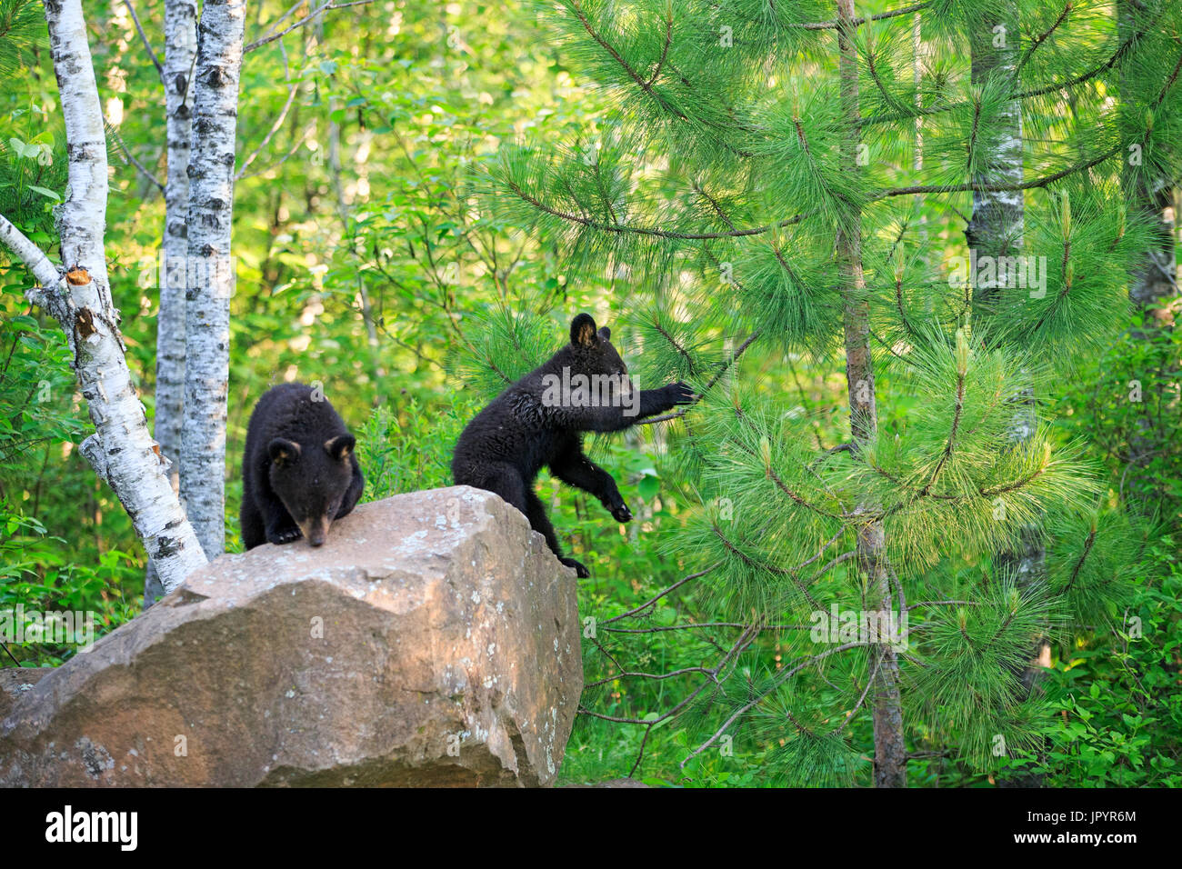 Young Black Bears undergrowth in the spring - Minnesota USA - Stock Image