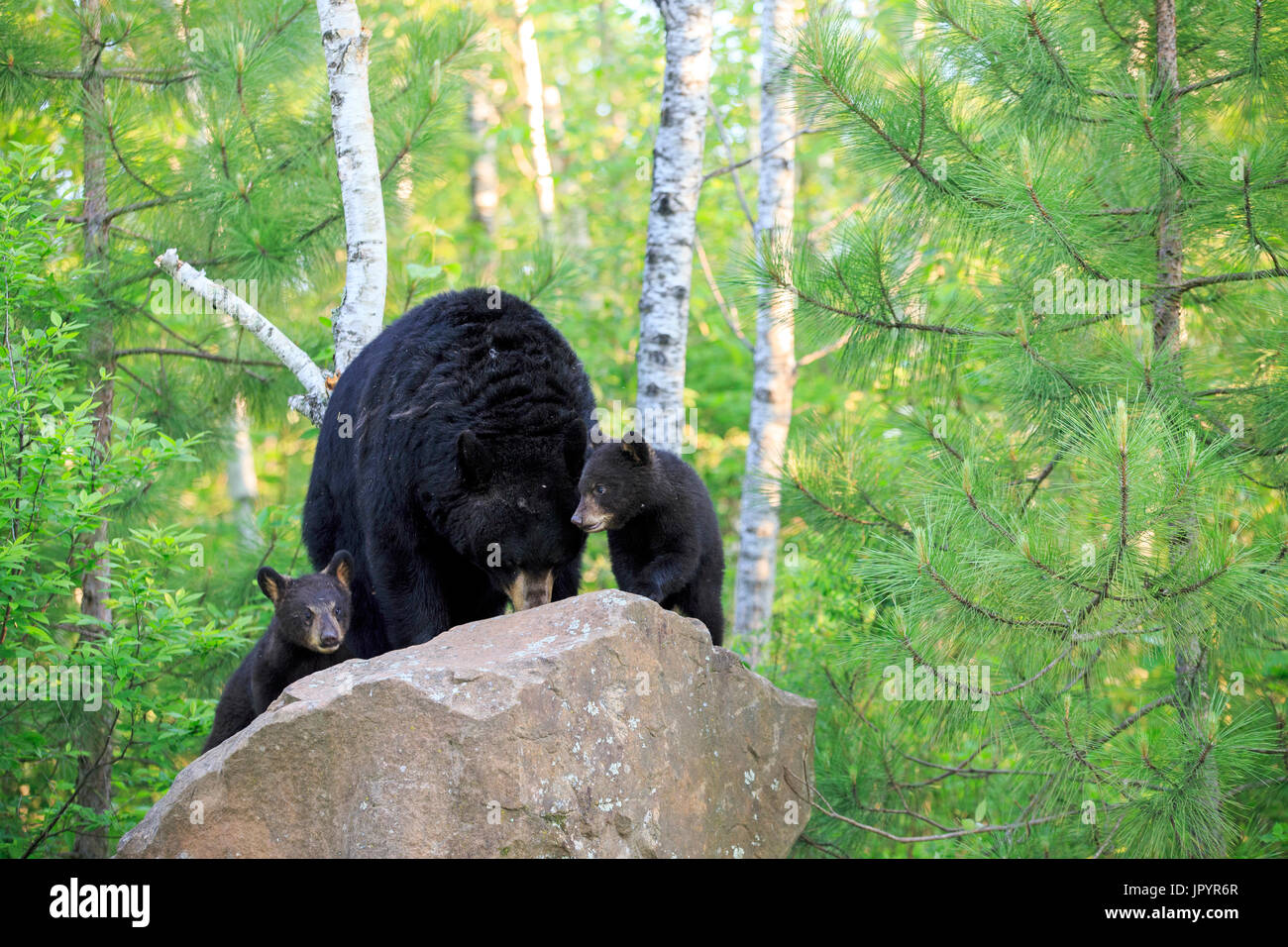 Black Bear and young on rock in the spring - Minnesota USA - Stock Image