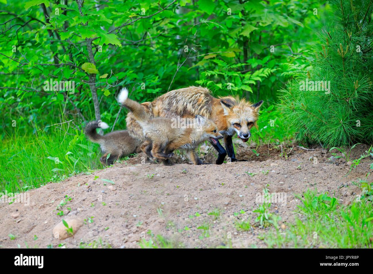 Red fox and young at burrow - Minnesota USA - Stock Image