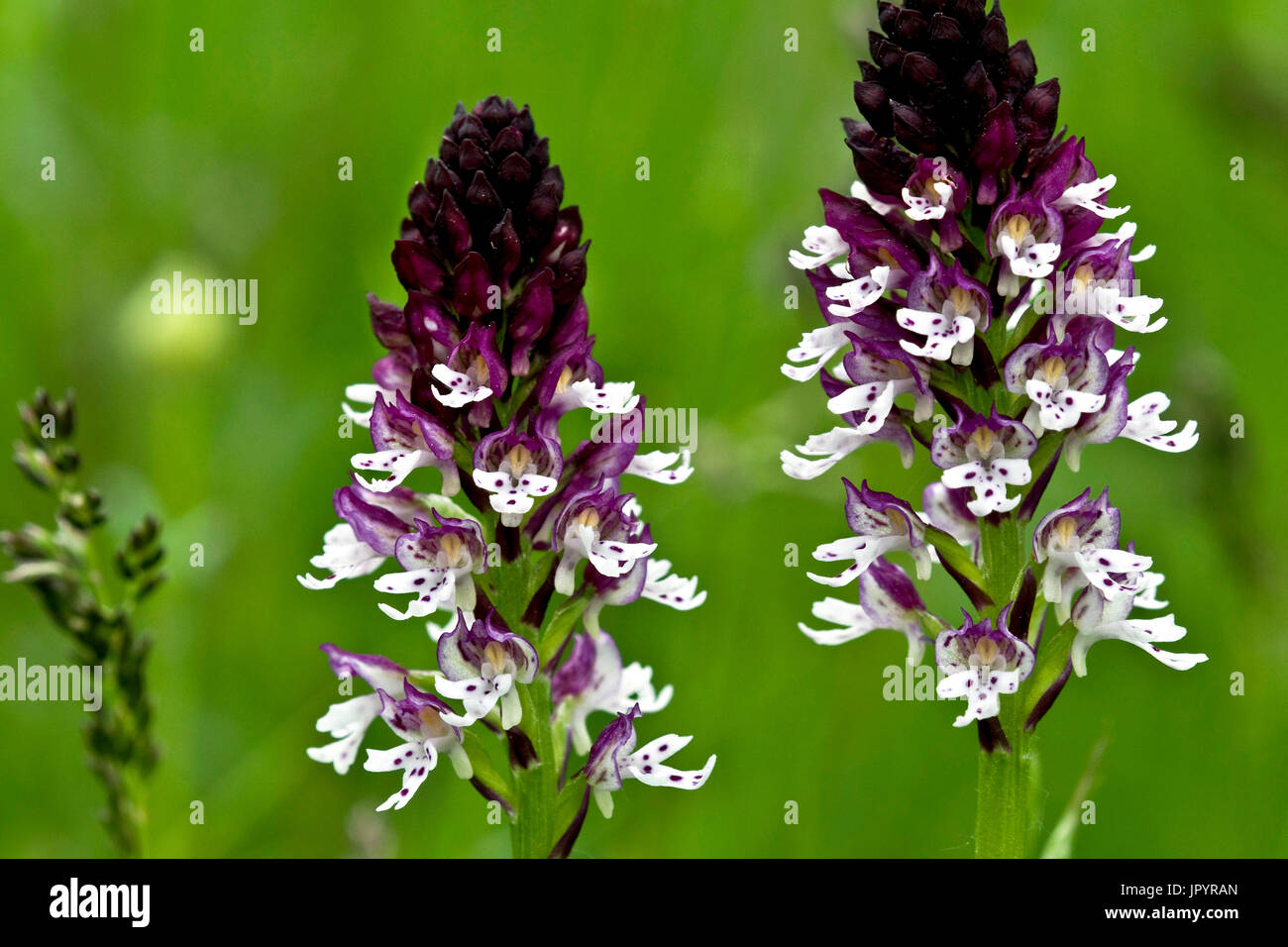 Burnt orchids in bloom in Catalonia - Spain - Stock Image