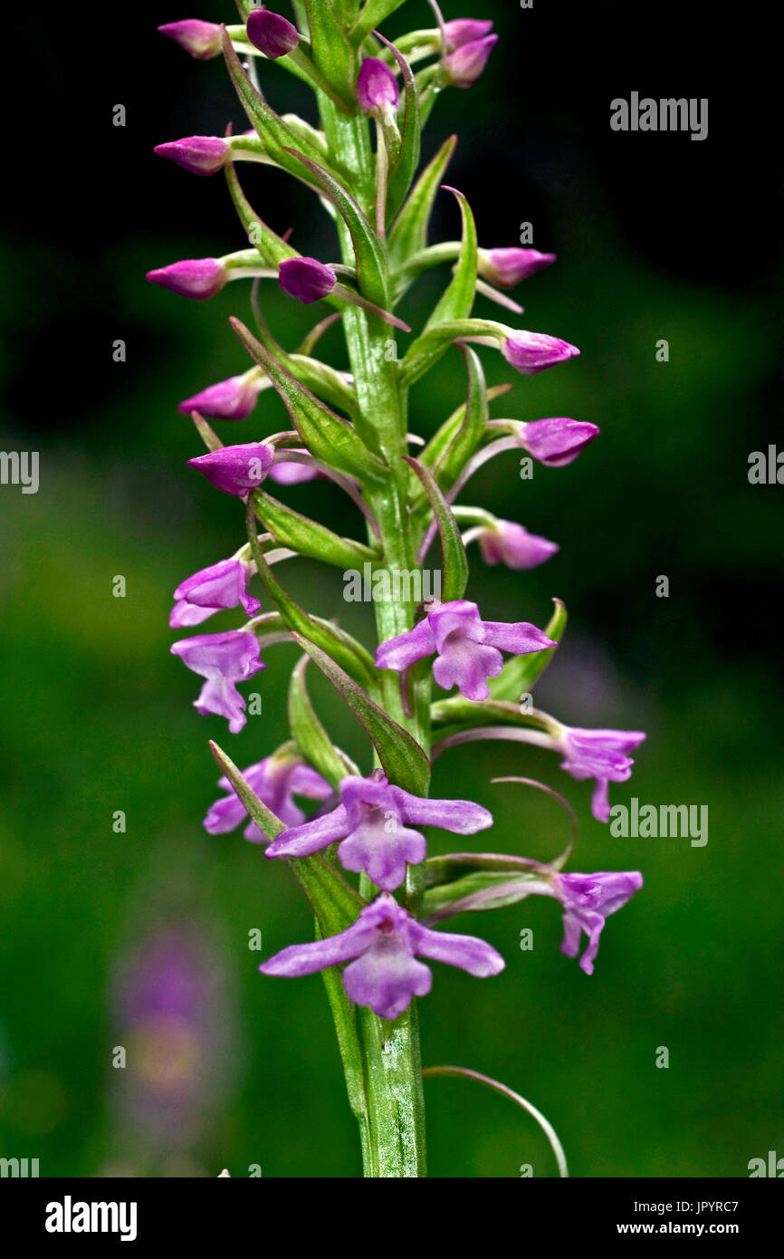 Fragrant orchid in bloom in Aragon - Spain - Stock Image