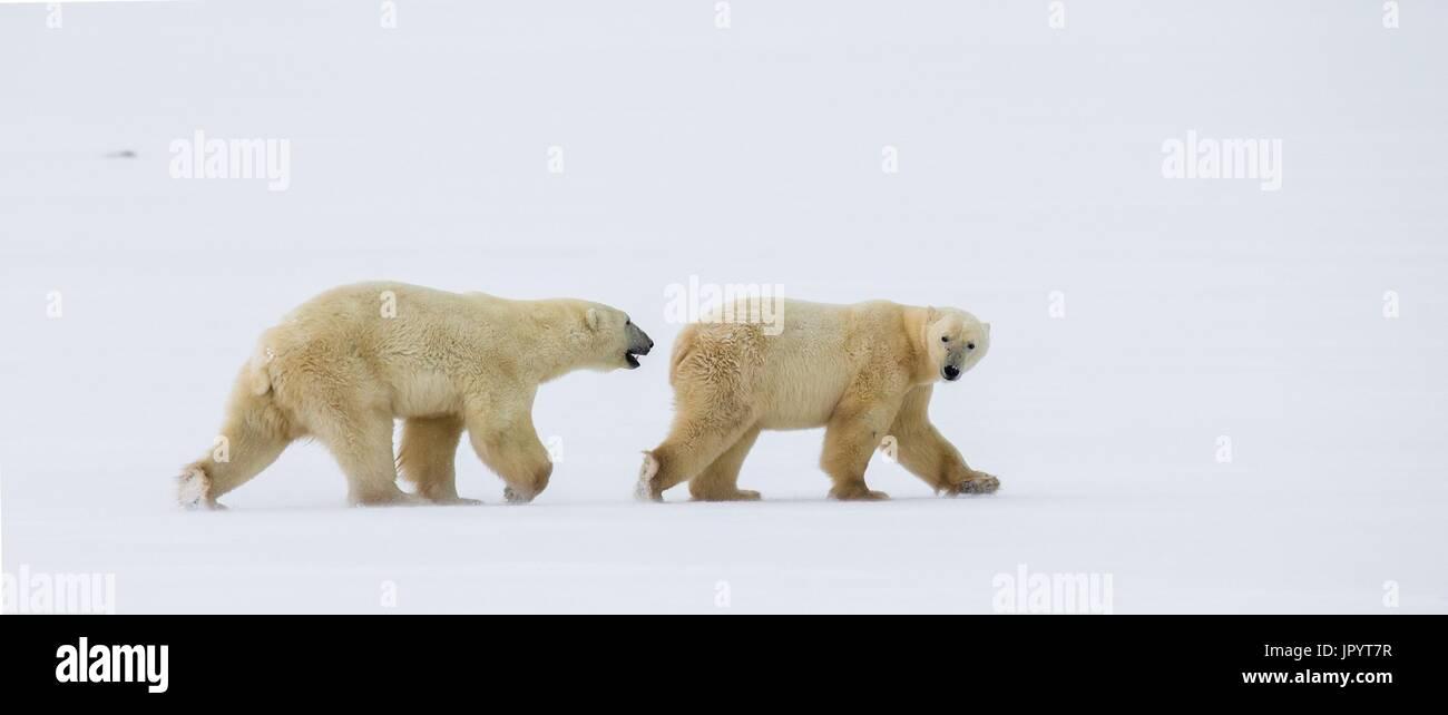 Two polar bears on the tundra. Snow. Canada. - Stock Image