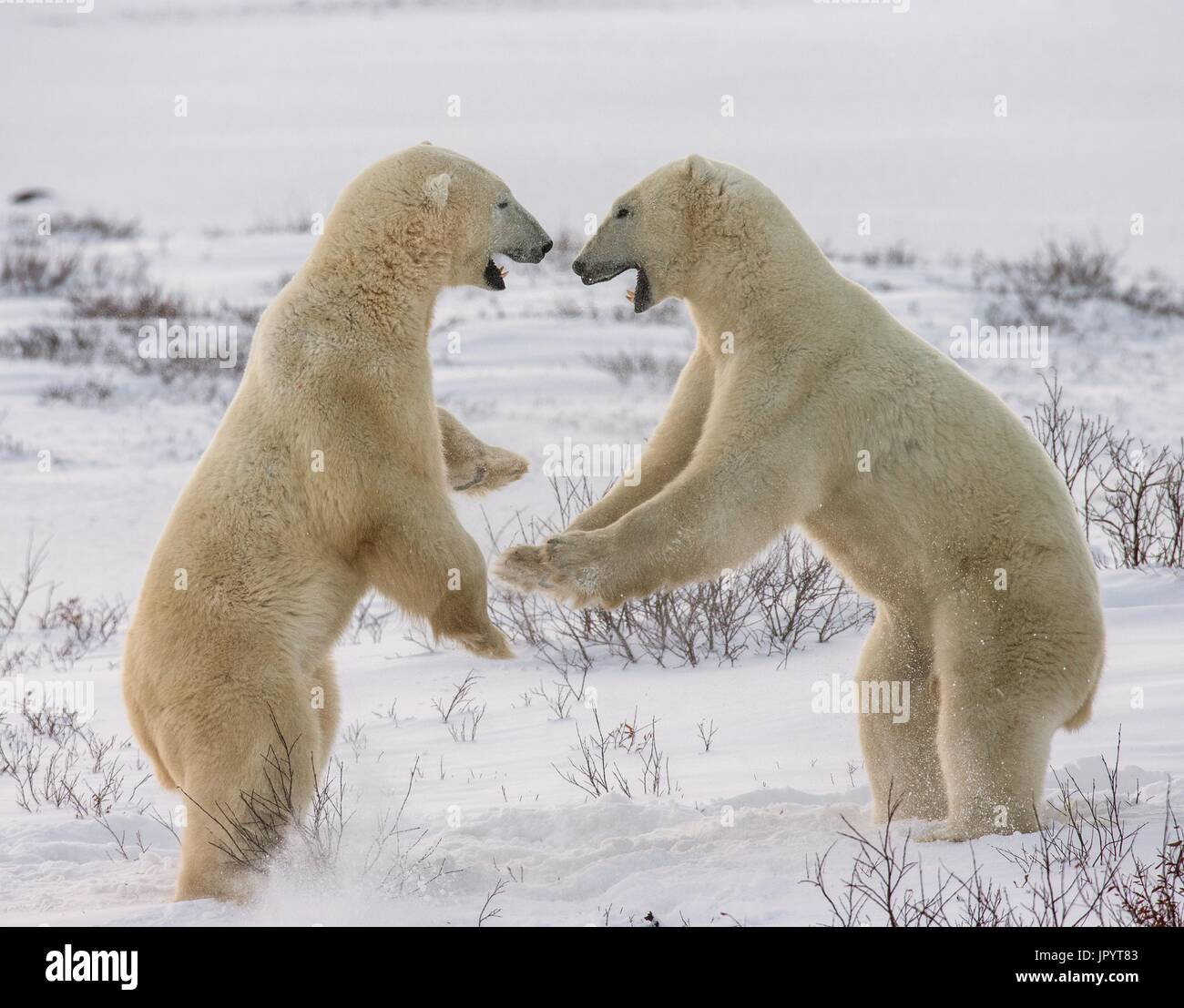 Two polar bears playing with each other in the tundra. Canada. - Stock Image