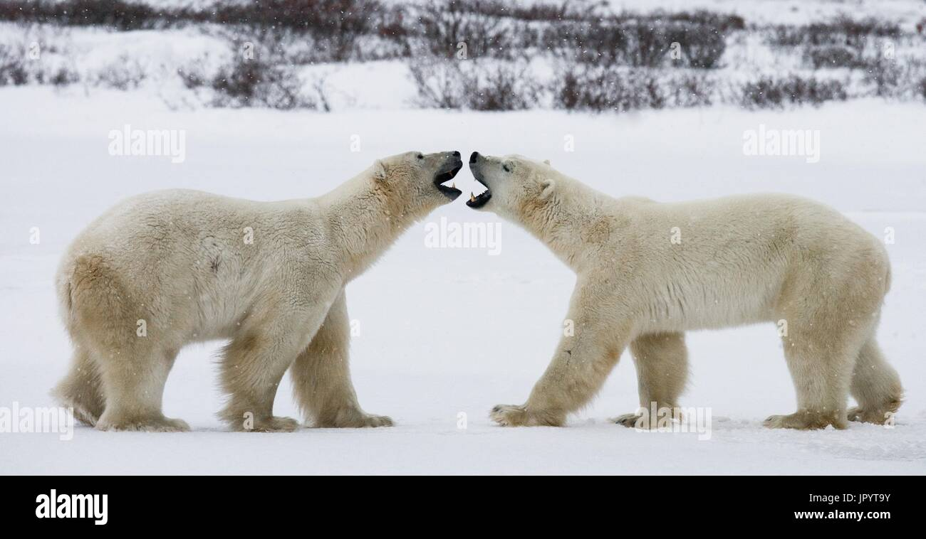 Two polar bears playing with each other in the tundra. Canada - Stock Image