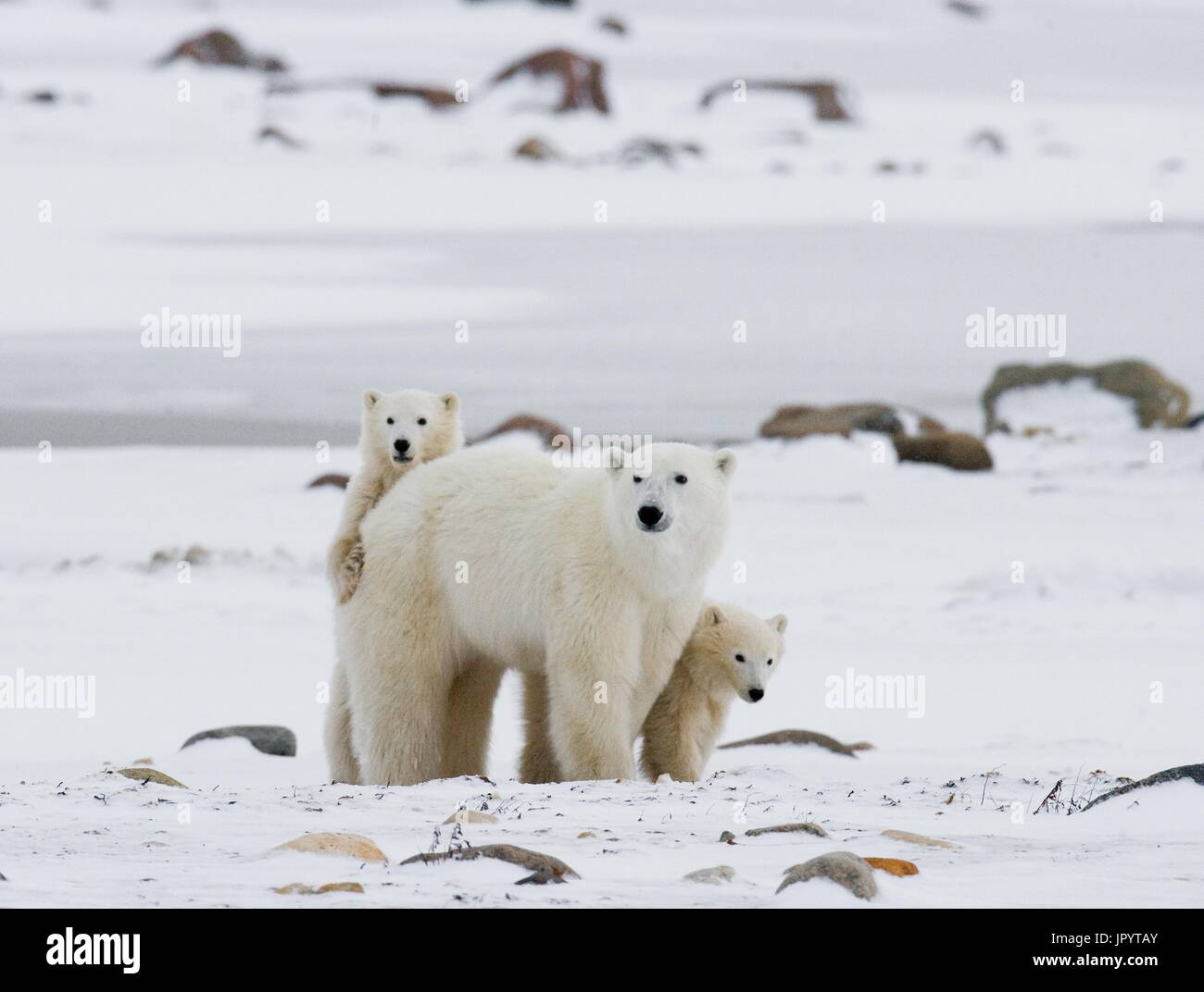 Polar bear with a cubs in the tundra. Canada. - Stock Image