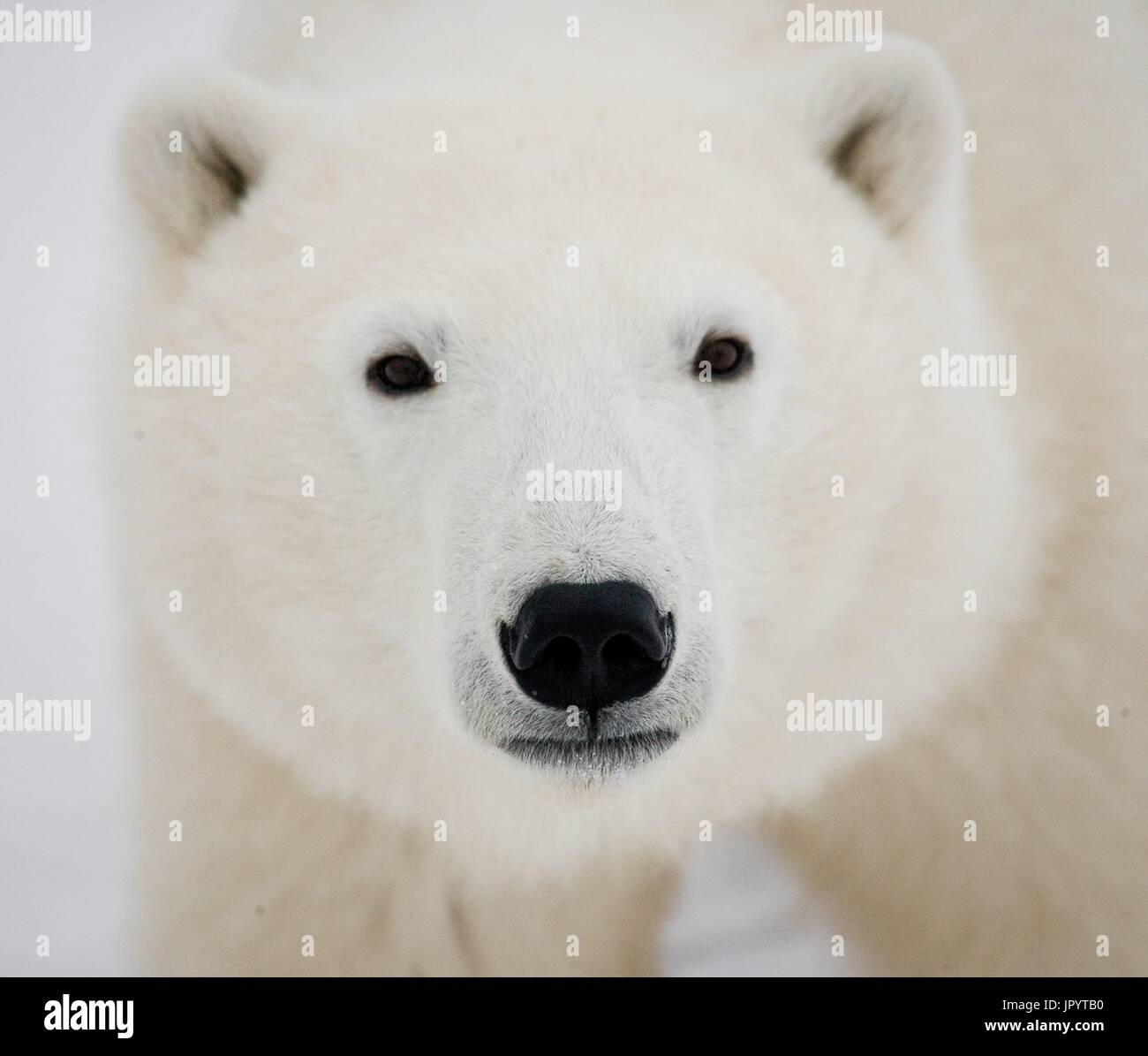 Portrait of a polar bear. Close-up. Canada. - Stock Image