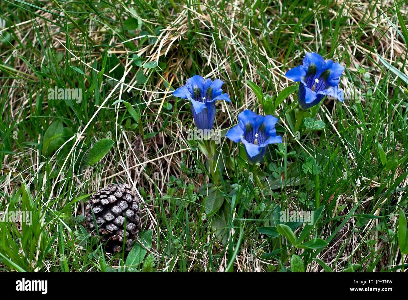 Blooming stemless Gentlan (Gentiana acaulis). Vall de Boi, Alta Ribagorca. Lleida. Pyrenees. Catalonia. Spain. - Stock Image