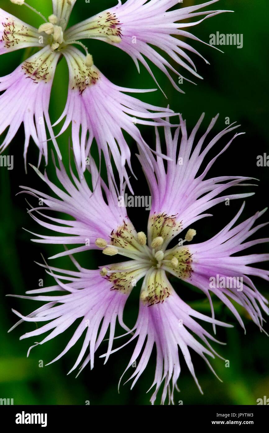 Blooming Fringed pink (Dinathus hyssopifolius hyssopifolius). Vall de Bo. Ribagorca. Pyrenees. Lleida. Catalonia. Spain. - Stock Image
