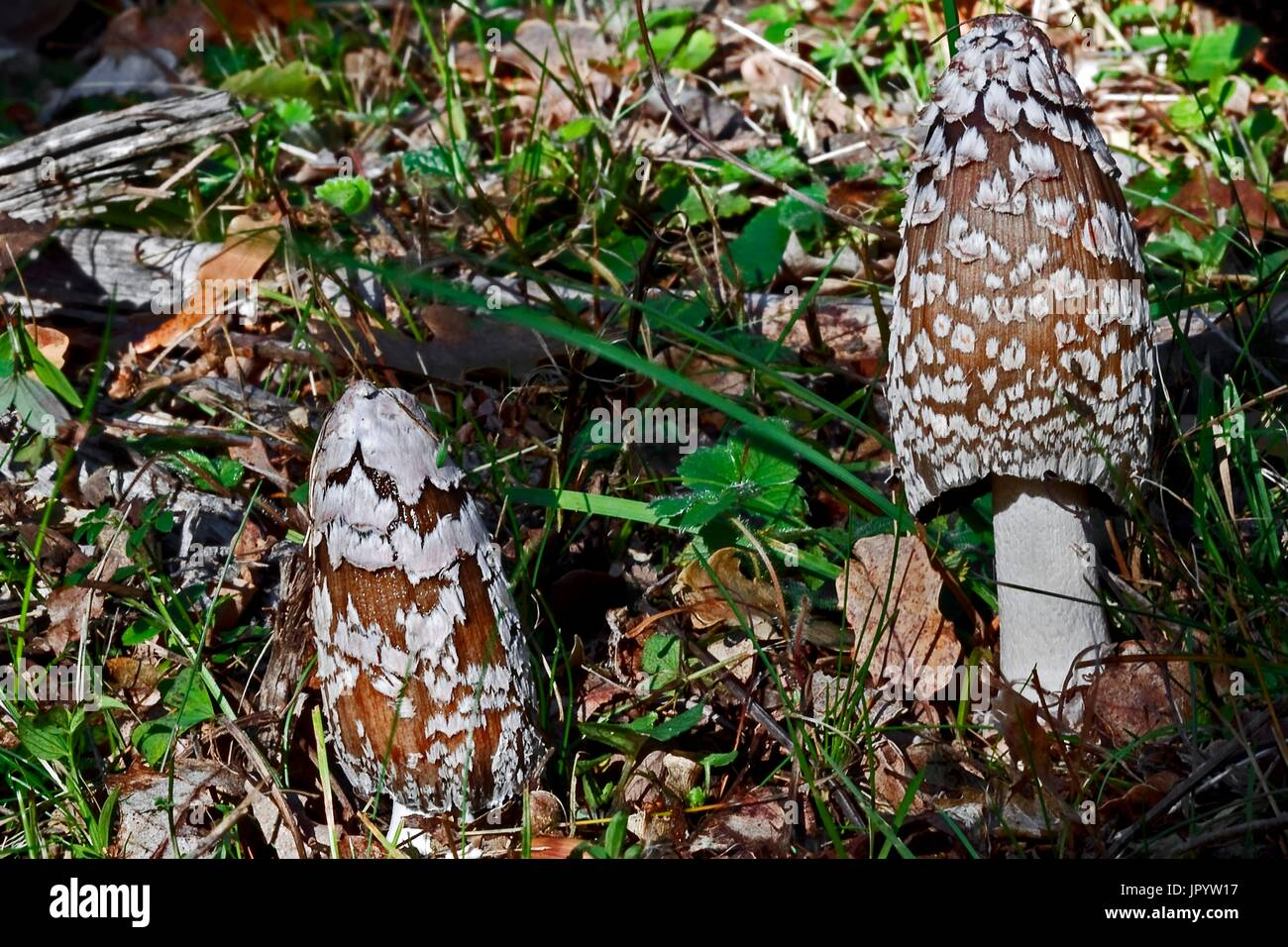 Magpie Inkcap (Coprinus picaceus) in a meadow. Batet. Garrotxa. Girona. Pyrenees. Catalonia. Spain. - Stock Image