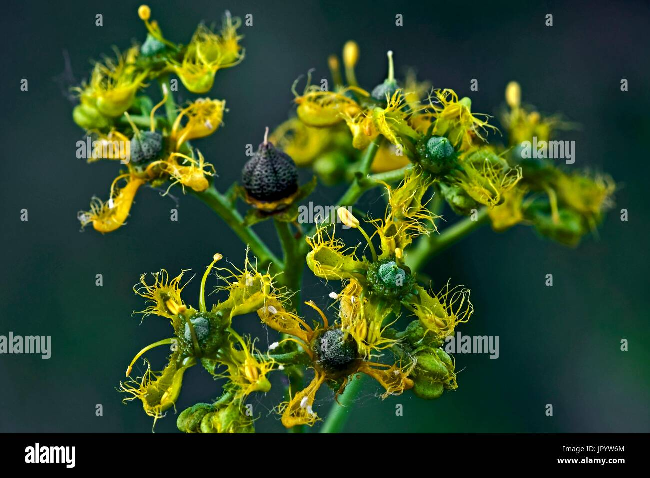 Fringed rue (Ruta chalepensis) in bloom. Used as medicinal plant. Poisonous plant. Also used as a magical plant (trditional culture). Balaguer. Noguera. Lleida. Catalunya. Spain. - Stock Image