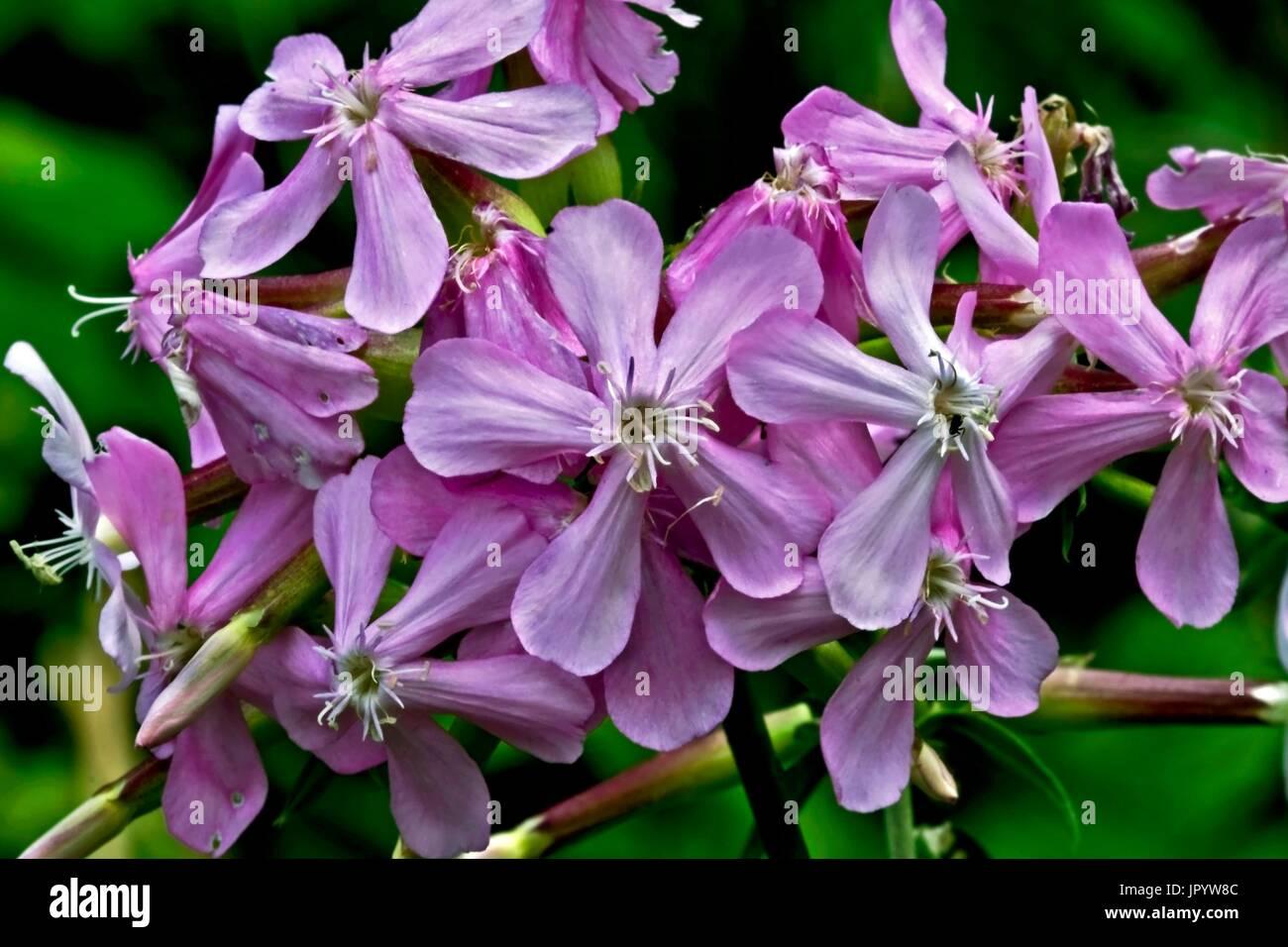 Common soapwort (Saponaria officinalis). Species used in popular medicine. Alta Ribagorca. Lleida. Pyrenees. Catalunya. Spain. - Stock Image