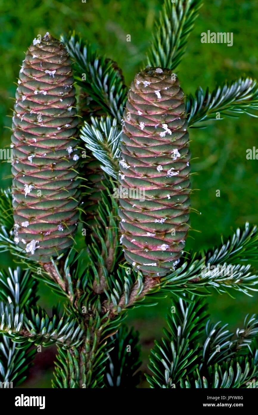 Fir tree (Abies alba Mill.) cone. Used as a medicinal plant. Val d'Isil. Pallars Sobire. Lleida. Pyrenees. Catalunya. - Stock Image