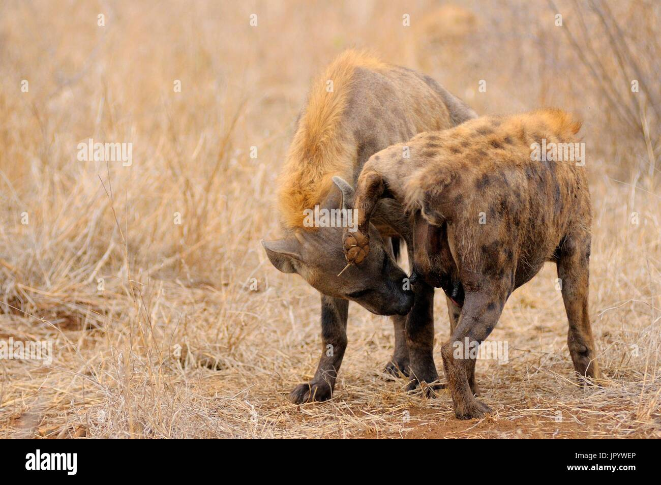 Regular inspection of genitalia of the spotted Hyena (Crocuta crocuta) dominated by dominant individuals, Kruger National Park, Mpumalanga, South Africa - Stock Image