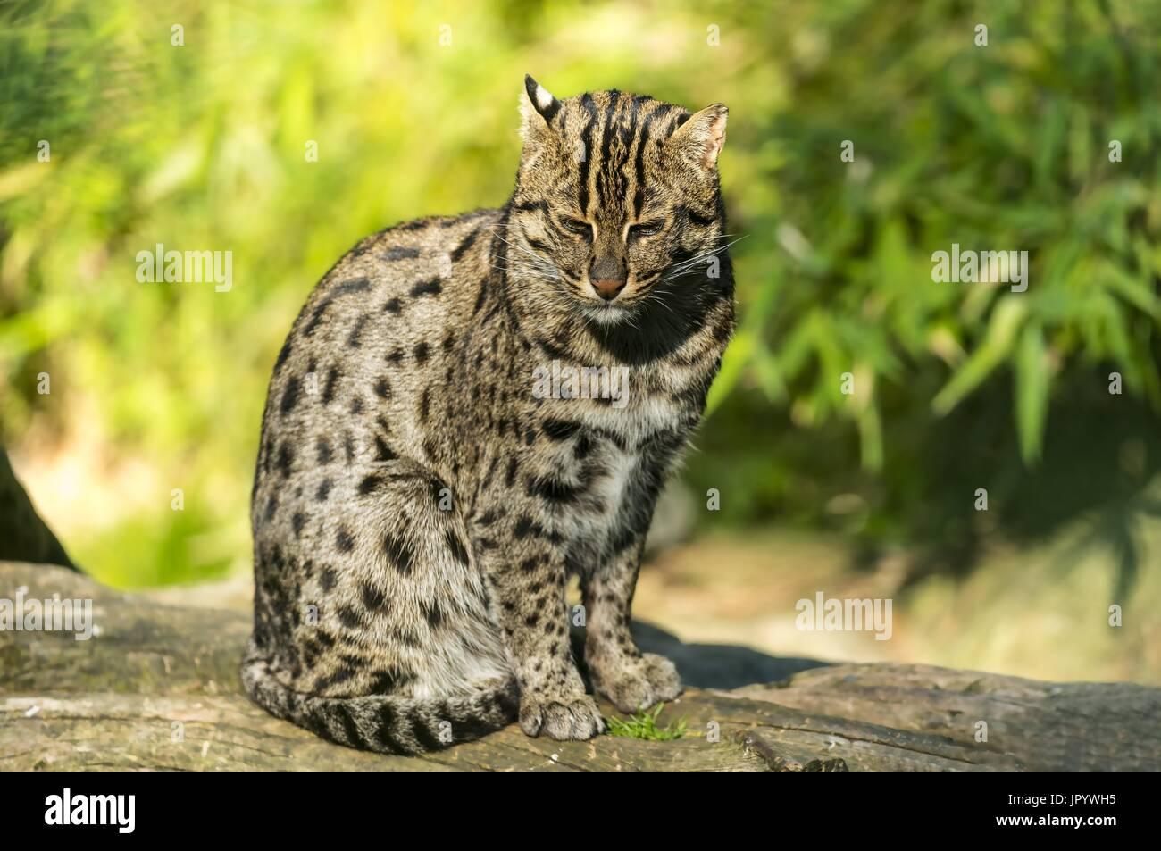 Fishing Cat (Prionailurus viverrinus) sitting on a trunk - Stock Image