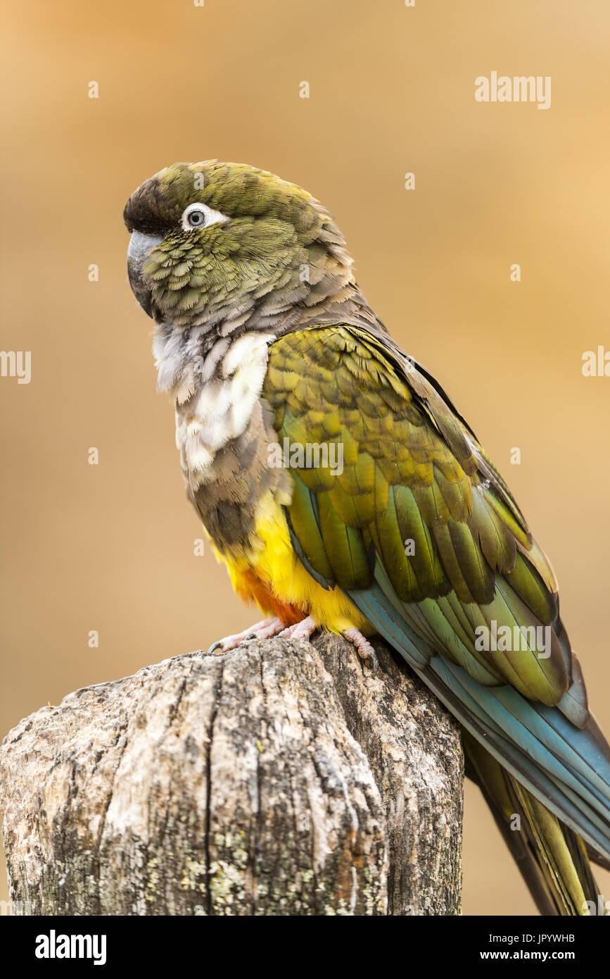 Burrowing Parrot (Cyanoliseus patagonus) on a pole - Stock Image