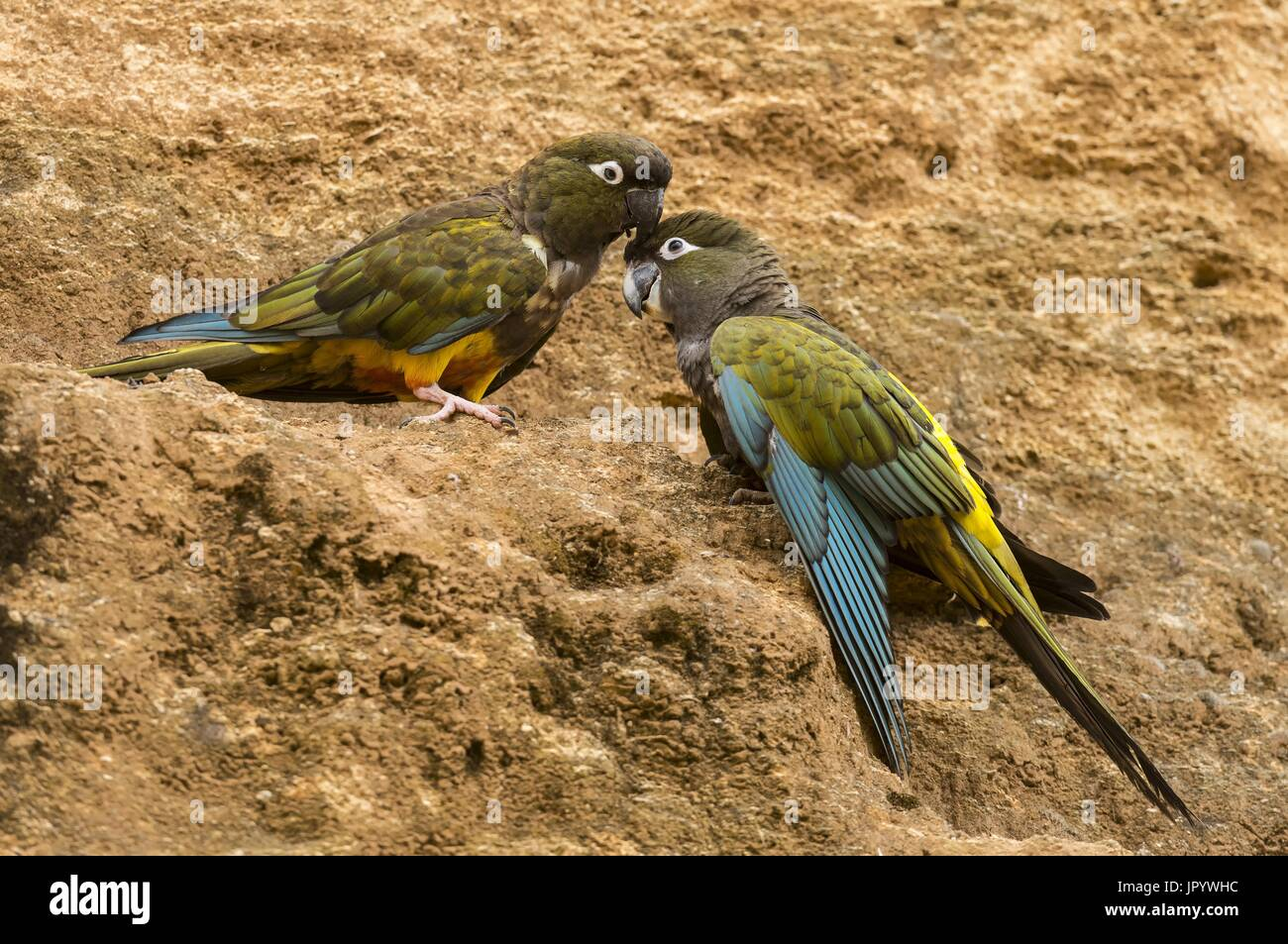 Burrowing Parrot (Cyanoliseus patagonus) on cliff - Stock Image