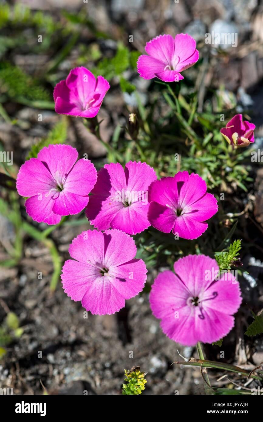 pea eye pink dianthus pavonius flowers queyras alps france